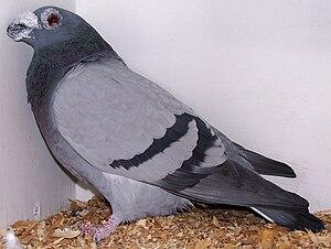 Dragoon pigeon - Blue bar Dragoon pigeon
