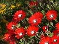 Drosanthemum speciosumP1050020.JPG