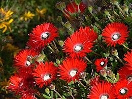 Drosanthemum speciosumP1050020