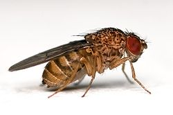 meaning of drosophila