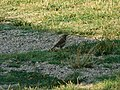 Drozd pevač (Turdus philomelos ); Song Thrush2.jpg