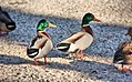 Ducks (10470694664).jpg
