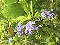 Duranta Erecta flower.jpg