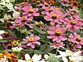 Dwarf Zinnia from Lalbagh flower show Aug 2013 8237.JPG