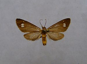 Braunfleck-Widderchen (Dysauxes ancilla)