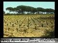 ETH-BIB-Aigues Mortes, Reben und Pinienwald-Dia 247-10488.tif