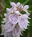 Early Marsh Orchid. Dactylorhiza incarnata (24542533657).jpg