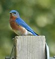 Eastern Bluebird (Sialia sialis) male 168973696.jpg