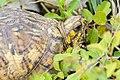 Eastern Box Turtle (Terrapene carolina carolina) (26508099856).jpg