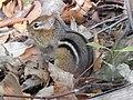 Eastern Chipmunk (Tamias striatus), Morris Arboretum 01.jpg