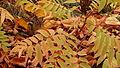 Eastern Chipmunk (Tamias striatus) 01.jpg