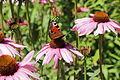 Echinacea purpurea-IMG 5664.jpg