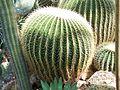 Echinocactus grusonii de.jpg