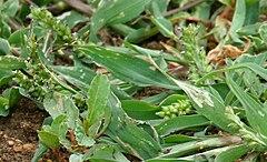 Echinochloa Wikispecies