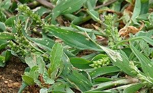 Echinochloa - jungle rice (Echinochloa colona)