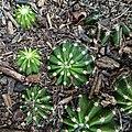 Echinopsis oxygona (Family Cactaceae) - offsets.jpg