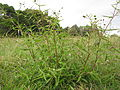 Eclipta prostrata plant2 (8501347801).jpg