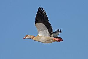 Egyptian goose - Image: Egyptian Goose