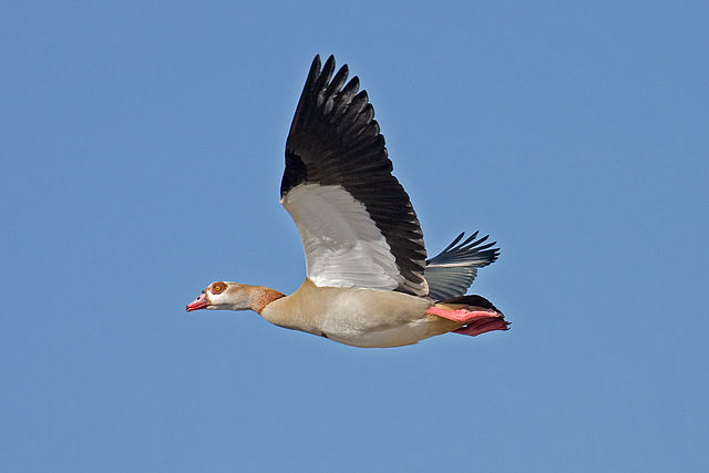 Egyptian Goose / Andreas Trepte, www.photo-natur.de.