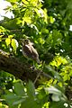 Eine Singdrossel versteckt sich vor neugierigen Blicken im Dickicht der Bäume.jpg