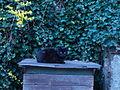 Eine ruhende, schwarze Hauskatze.JPG
