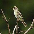 Elaenia flavogaster - Yellow-bellied Elaenia.JPG