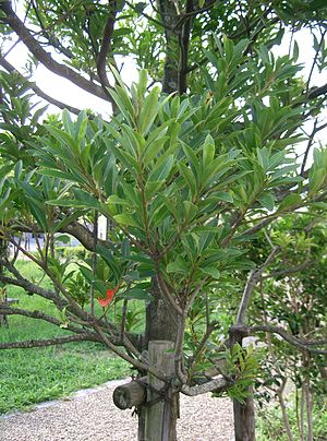 Elaeocarpus sylvestris - Image: Elaeocarpus sylvestris 2