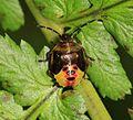 Elasmostethus intersinctus (Birch shieldbug) - final instar - Flickr - S. Rae.jpg