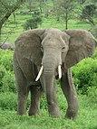 Afrikanischer Elefant in Tansania