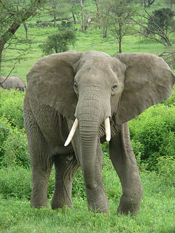 An African Bush Elephant near the border of the Serengeti and Ngorongoro Conservation Area in Tanzania.