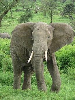 Egy afrikai elefánt