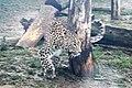 Em - Panthera pardus - 6.jpg