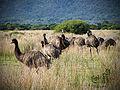 Emus, Wilsons Promontory National Park.jpg