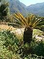 Encephalartos friderici-guilielmi KirstenboshBotGard09292010A.JPG