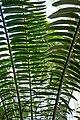 Encephalartos laurentianus-Jardin botanique Meise (3).jpg