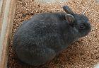 Enderby Island Rabbit.jpg