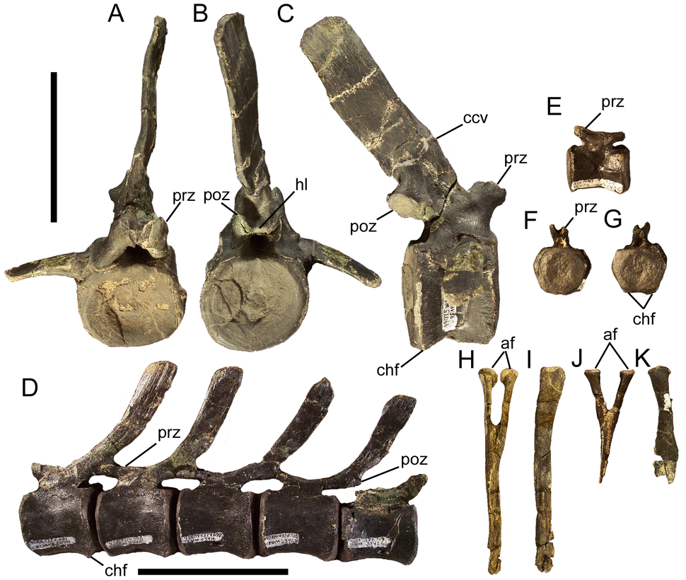Eolambia caudal vertebrae