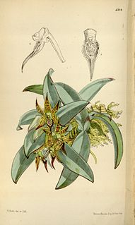 <i>Epidendrum sophronitis</i> Species of plant