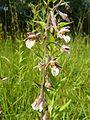 Epipactis palustris 02.JPG