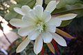 Epiphyllum crenatum 'Chichicastenango' 2.jpg