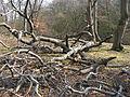 Epping Forest-fallen beech389.JPG