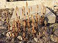 Equisetum arvense subsp. arvense sl7.jpg
