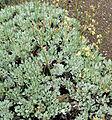 Eriogonum ovalifolium ovalifolium 1.jpg