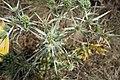 Eryngium campestre, Apiaceae 02.jpg