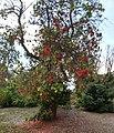 Erythrina chiapasana.jpg