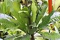 Erythrochiton brasiliensis 13zz.jpg