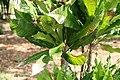 Erythrochiton brasiliensis 4zz.jpg