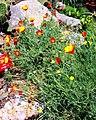Eschscholzia californica Prague 2017 1.jpg