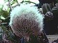Espostoa nana fma cristata.jpg