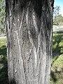 Eucalyptus Crebra bark.jpg